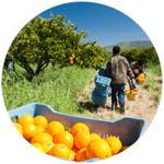 Orchard citrus
